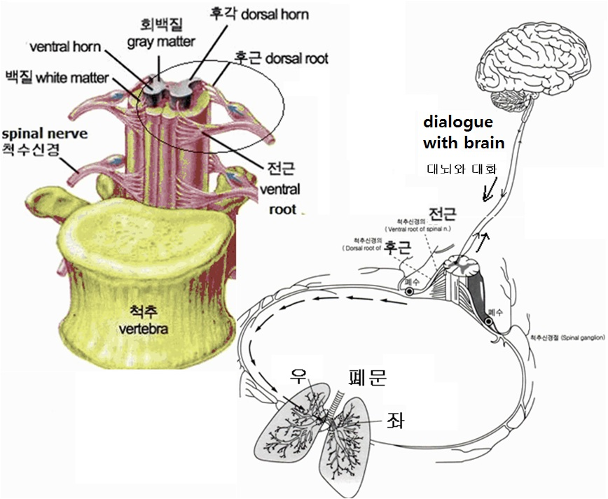 aa spinal cord