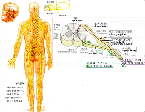 aa spinal cord1
