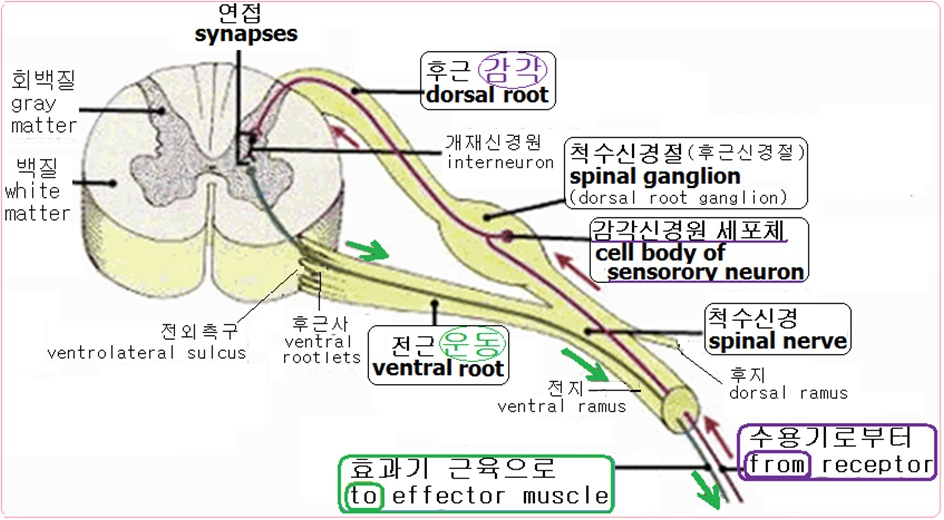 aa synapses